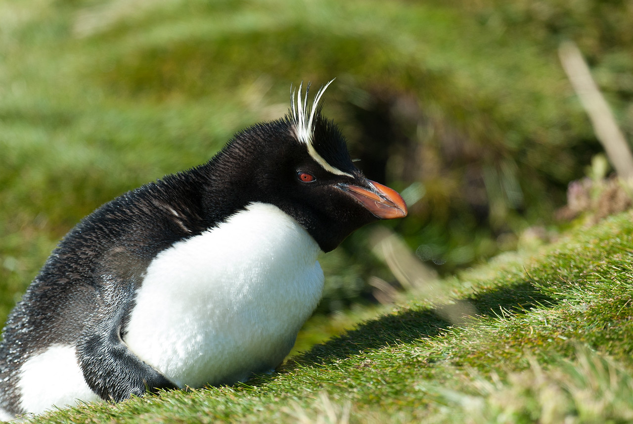 Rockhopper penguin, West Point Island, Falkland Islands