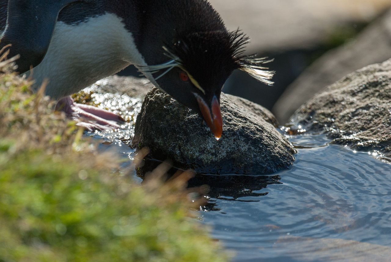 Penguin drinking in West Point Island