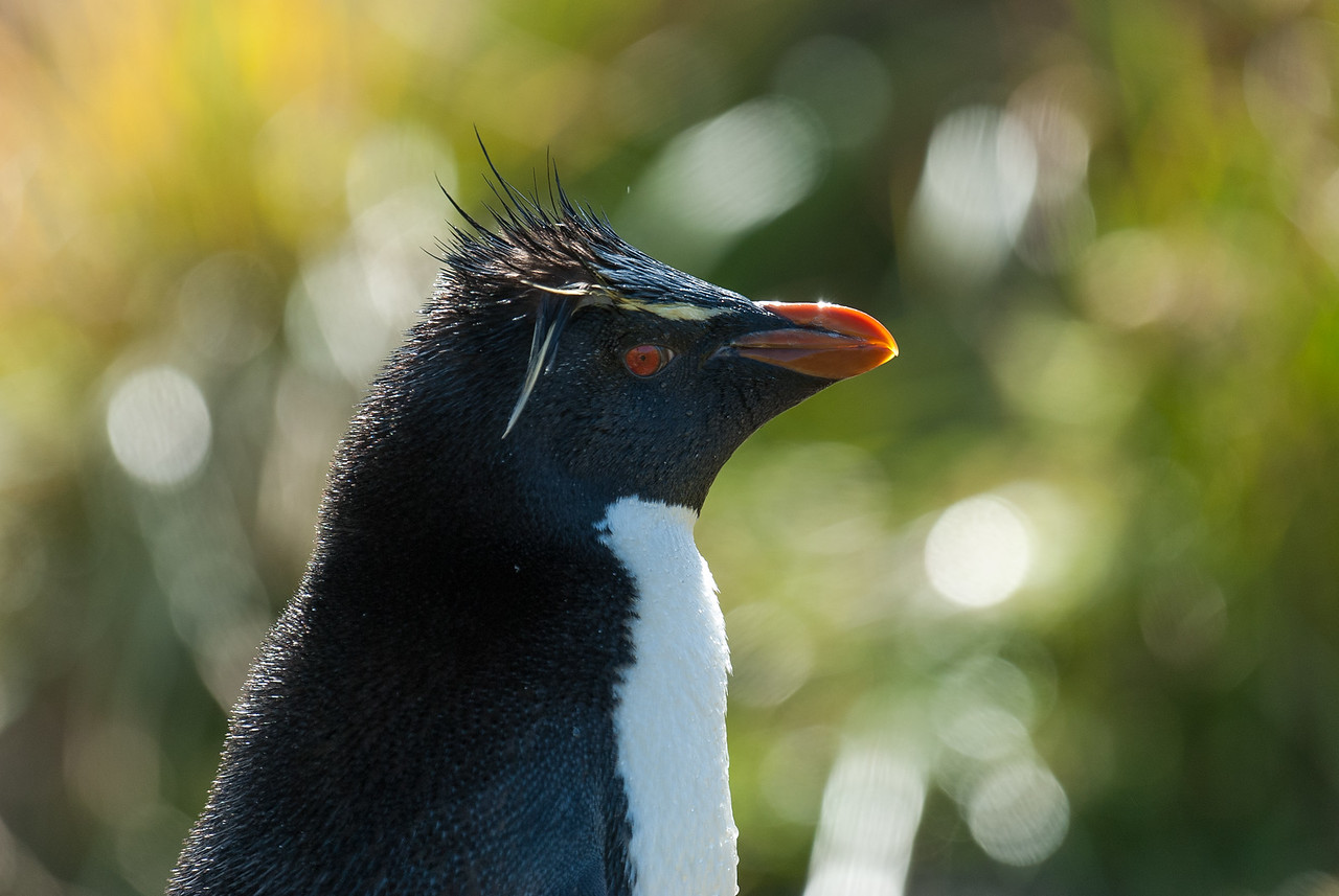 Rock hopper penguin, West Point Island, Falkland Islands