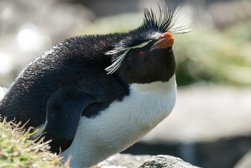 Penguin in West Point Island