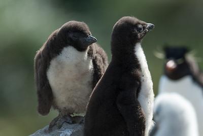 Albatross chicks in West Point Island