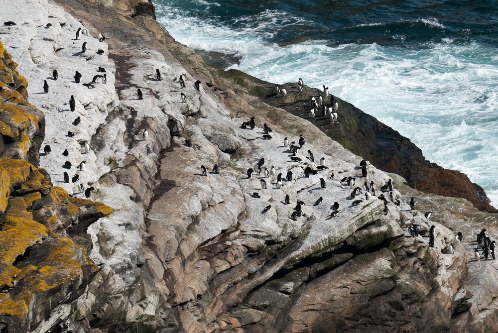 Rockhopper Penguin Colony on West Point Island, Falkland Islands