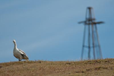 Albatross in West Point Island, Falkland Islands