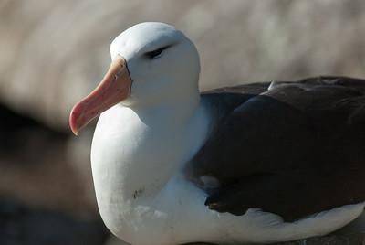 Albatross in West Point Island