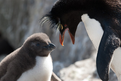 Rockhopper penguin and chick in West Point Island