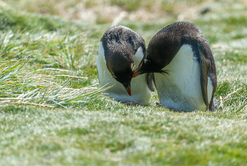 Rockhopper penguins, West Point Island, Falkland Islands