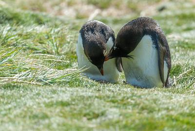 Rockhopper penguins, West Point Island, Falkland Islands