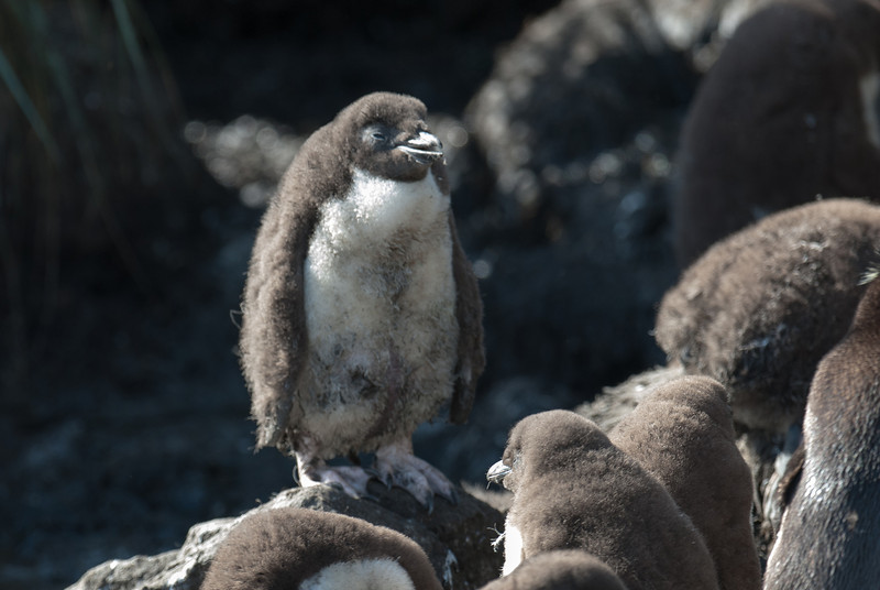 Penguin chick in West Point Island