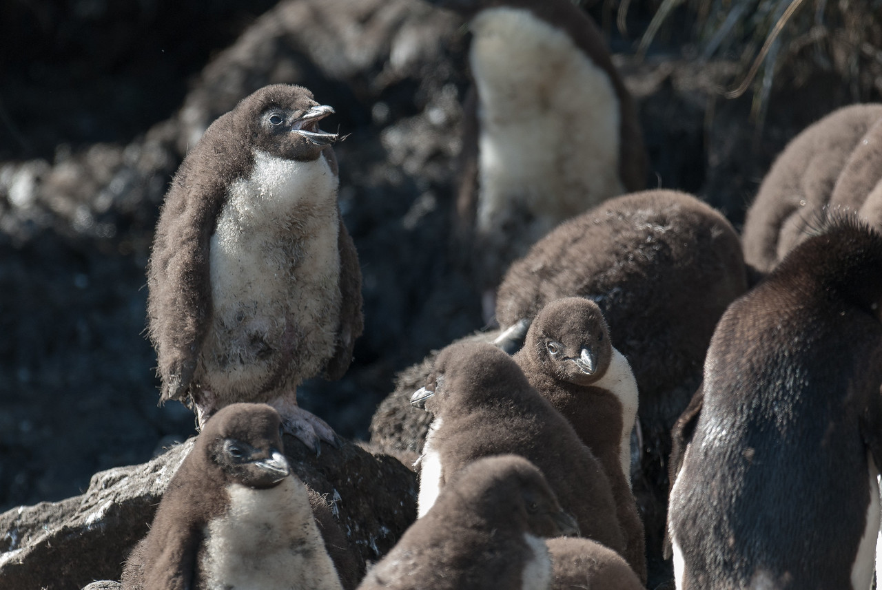 Penguin chicks in West Point Island