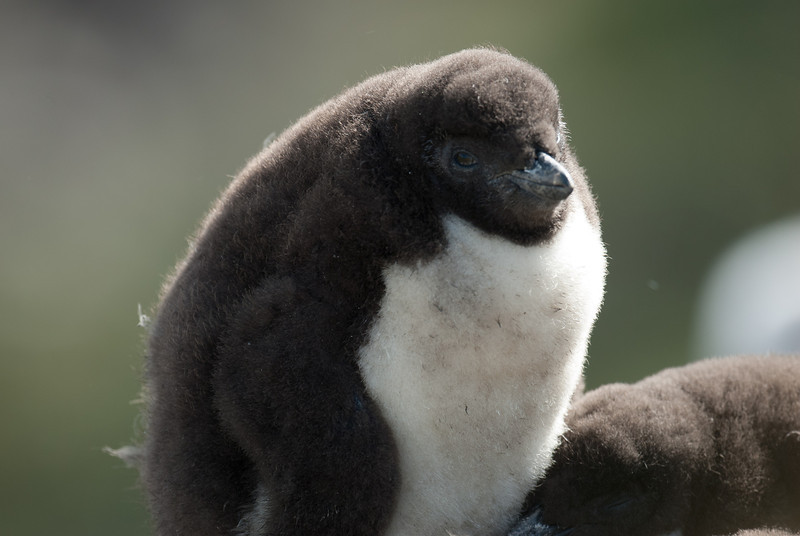 Rockhopper penguin chick in West Point Island