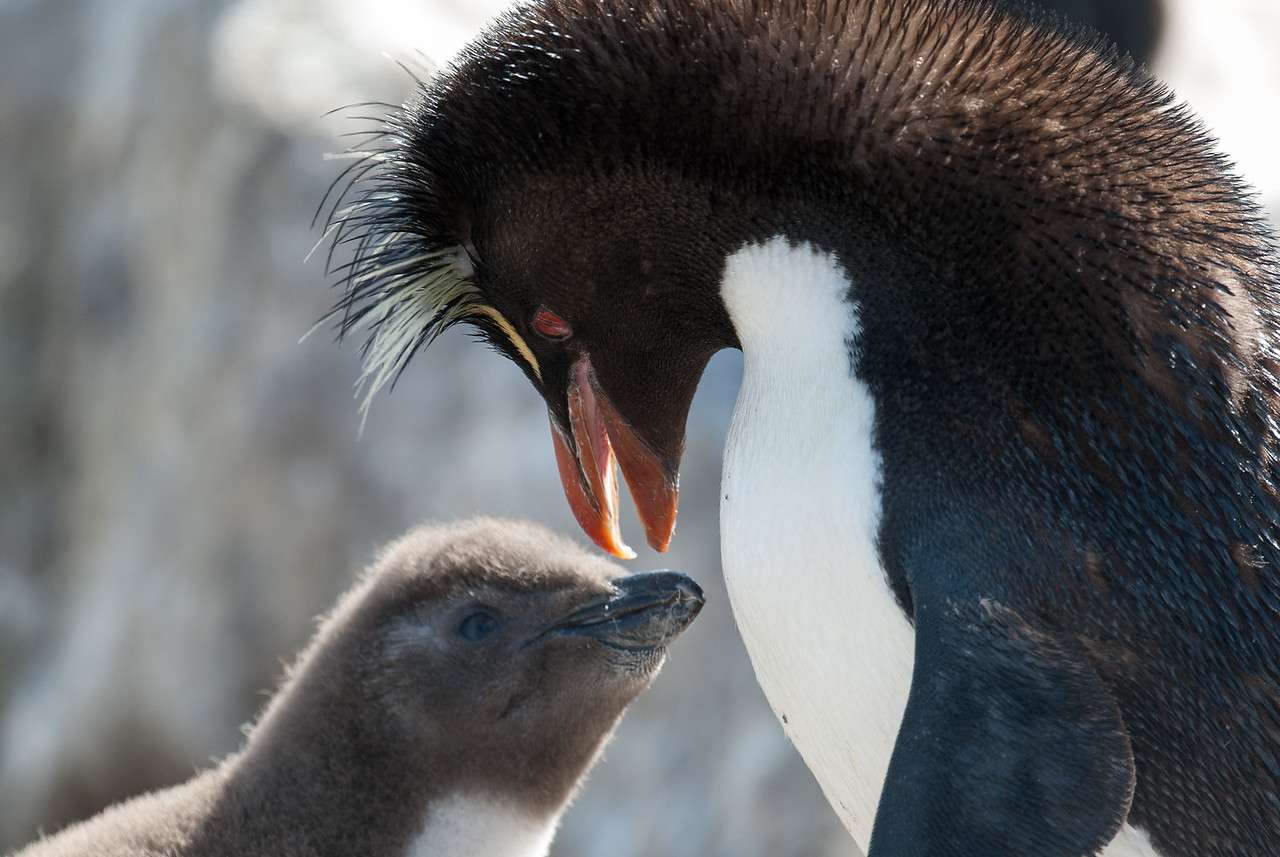 Rockhopper penguin and chick, West Point Island, Falkland Islands