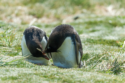 Penguins in West Point Island, Falkland Islands