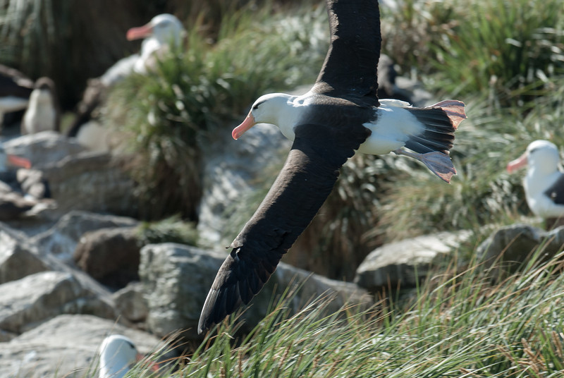 Albatross in flight at West Point Island