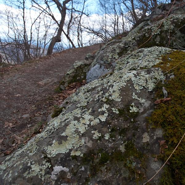 Trailside lichen