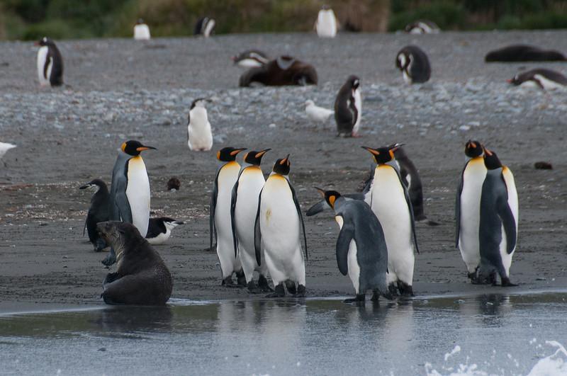 King penguin in Cooper Bay, South Georgia Island