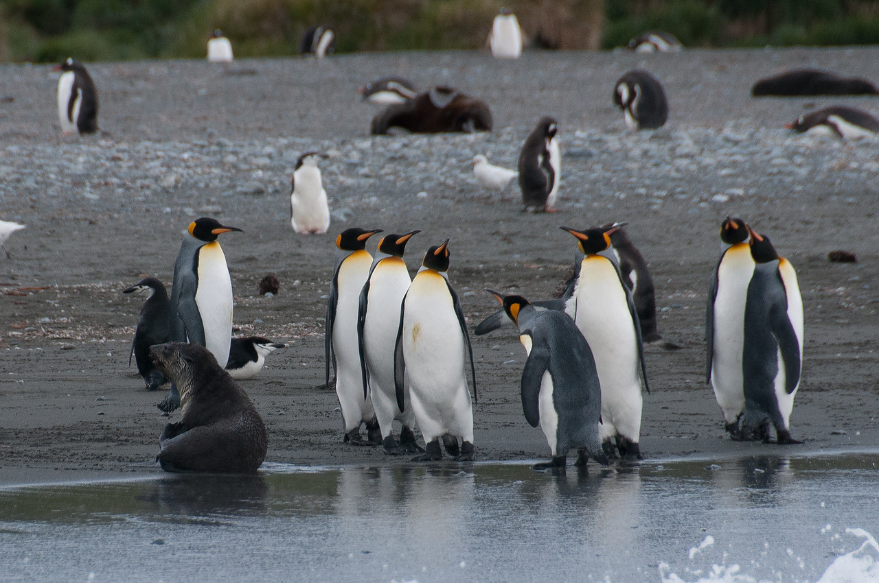 King penguin in Cooper Bay, South Georgia Island