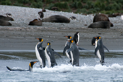 King penguins in Cooper Bay, South Georgia Island