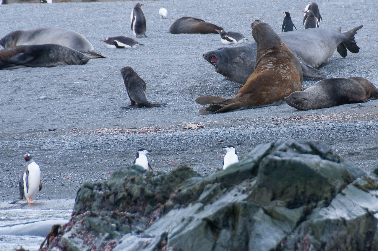 Seals and penguins in Cooper Bay