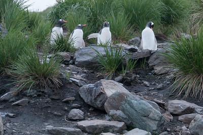Penguins in Cooper Bay, South Georgia Island