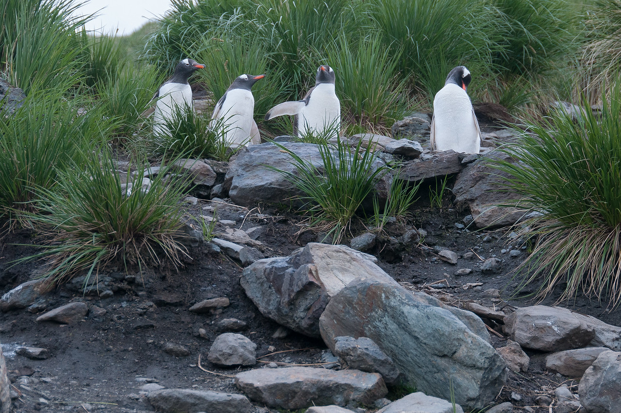 Penguins in Cooper Bay, South Georgia Island
