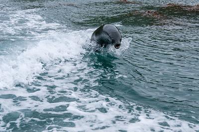 Fur seal diving in Cooper Bay, South Georgia Island