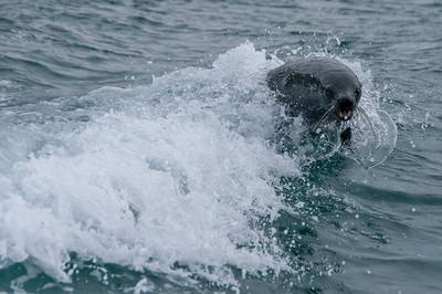 Fur seal in Cooper Bay, South Georgia Island
