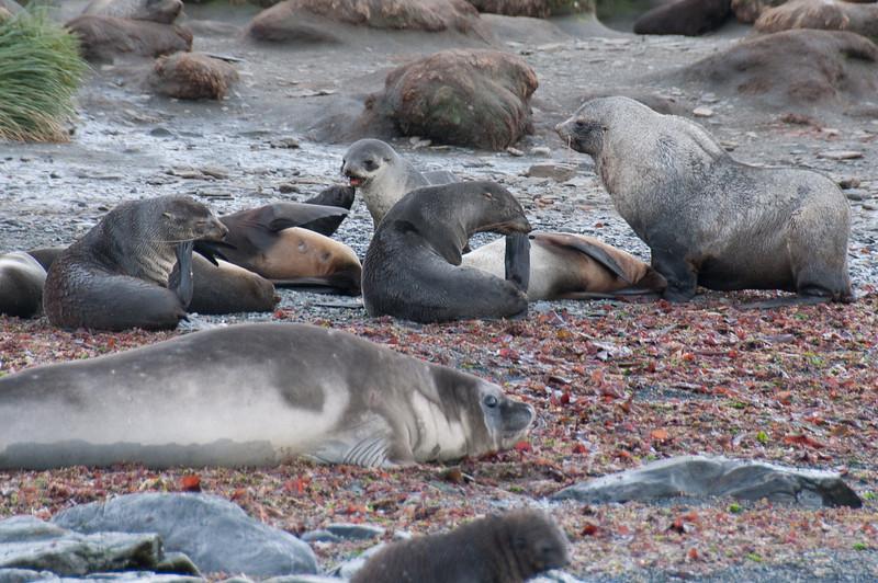 Fur seals in Cooper Bay, South Georgia Island