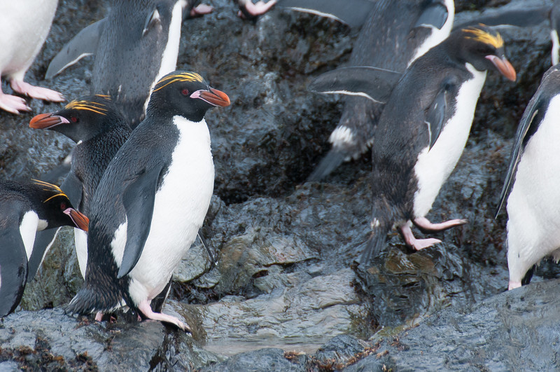 Rockhopper penguins in Cooper Bay, South Georgia Island