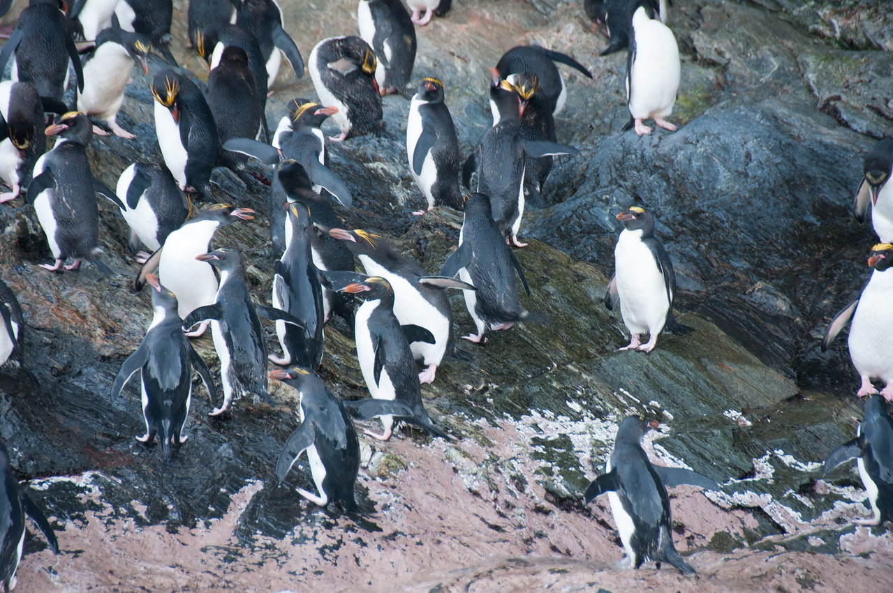 Colony of penguins in Cooper Bay, South Georgia Island