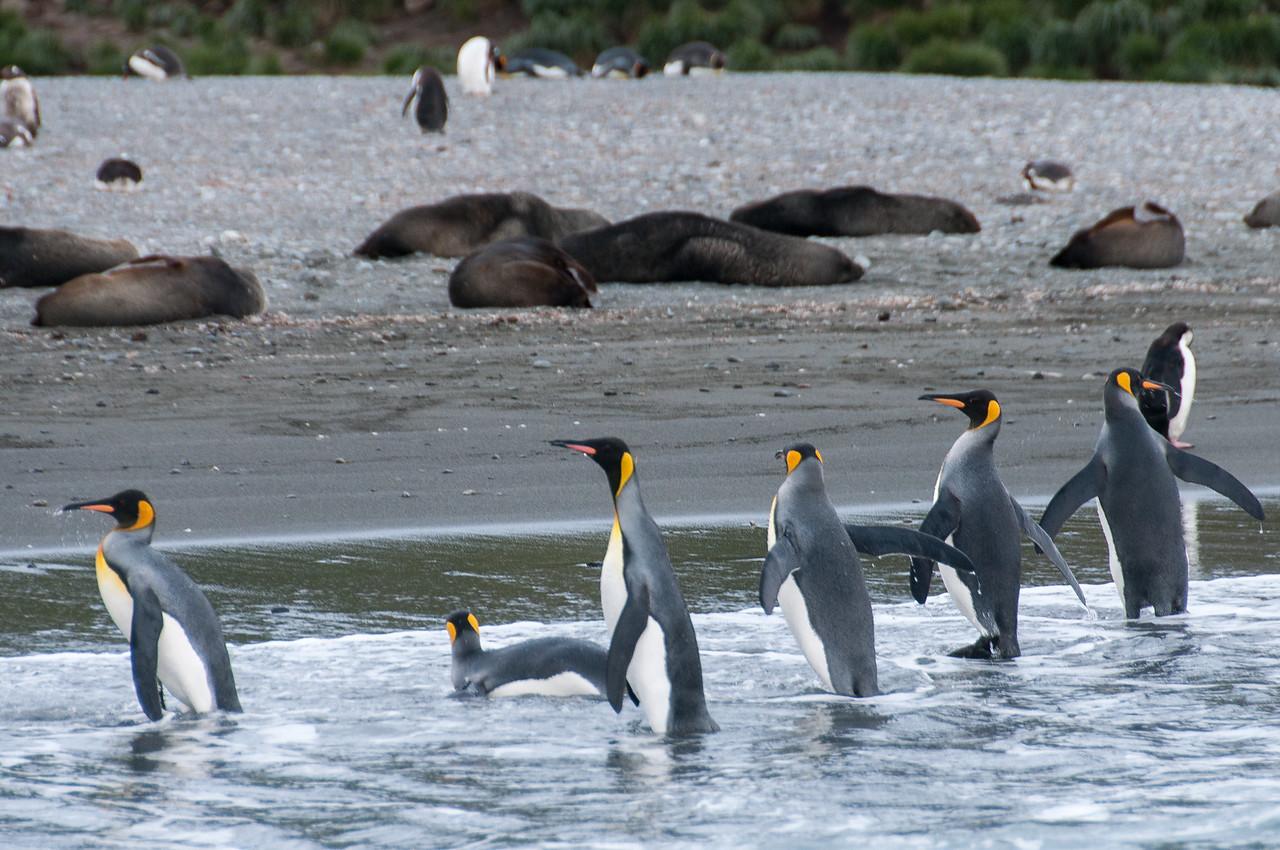 King penguins in Cooper Bay, South Georgia Island
