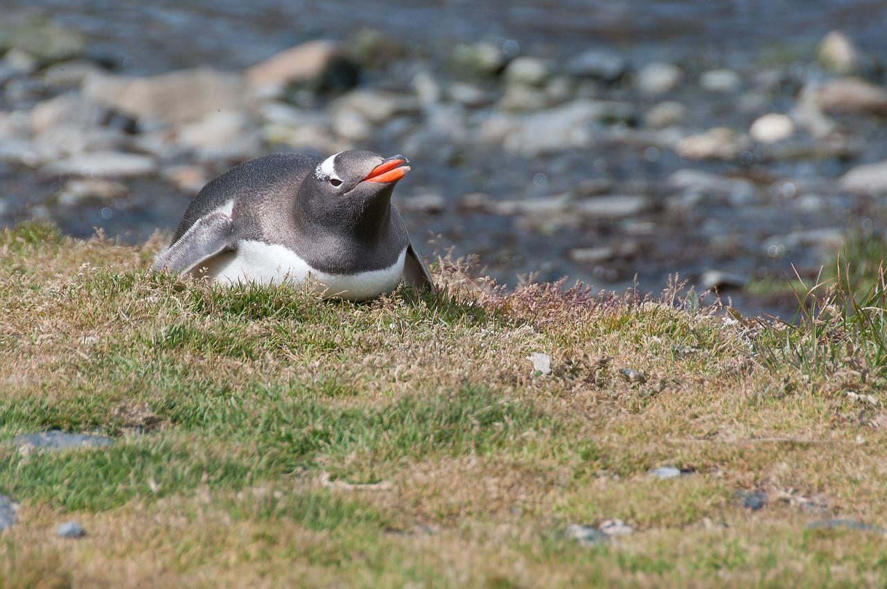 Penguin in Grytviken, South Georgia Island