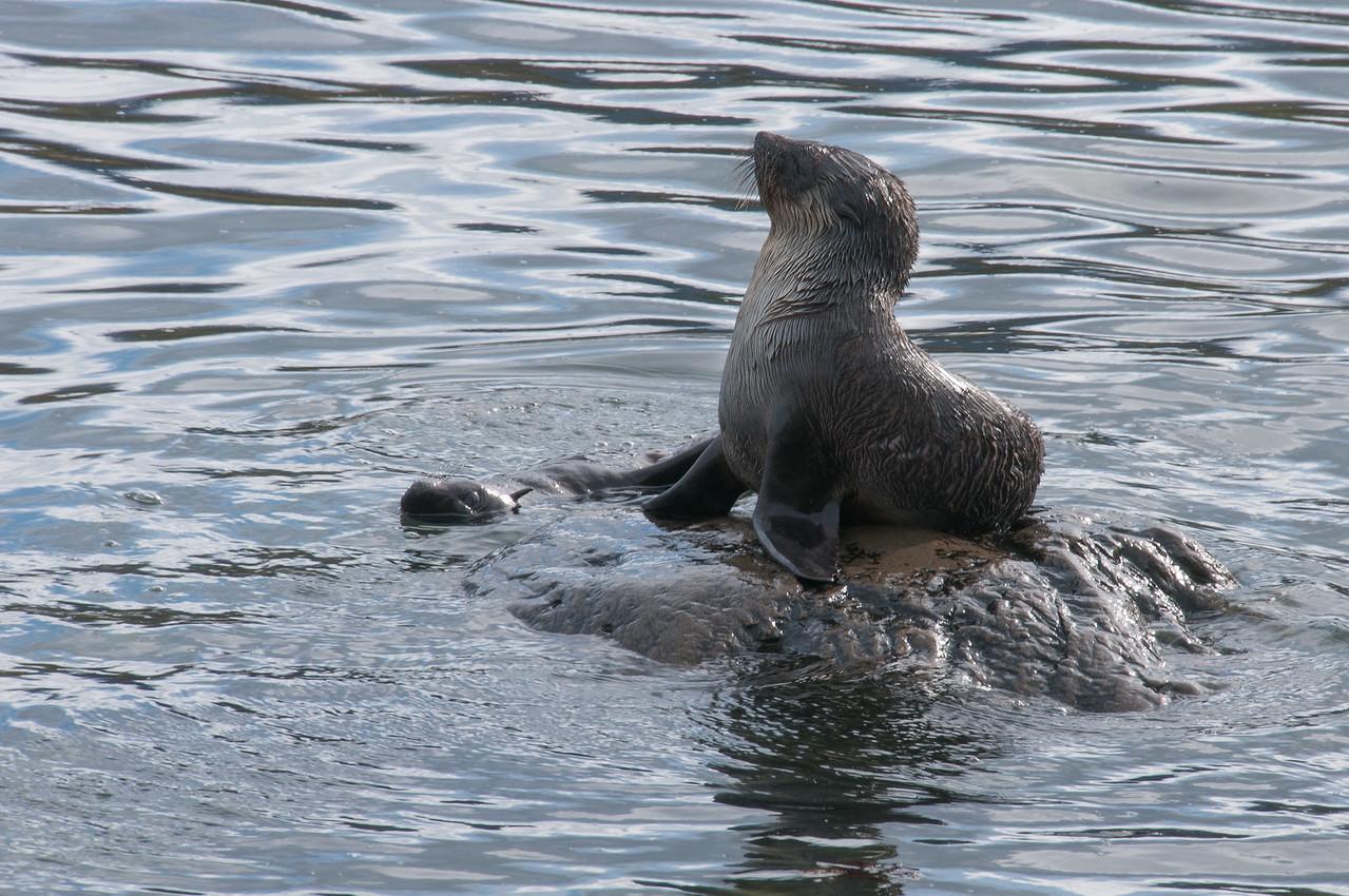 Fur seal in Grytviken, South Georgia