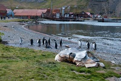 Penguins in Grytviken, South Georgia Island