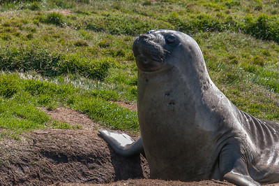 Seal in Grytviken, South Georgia Island