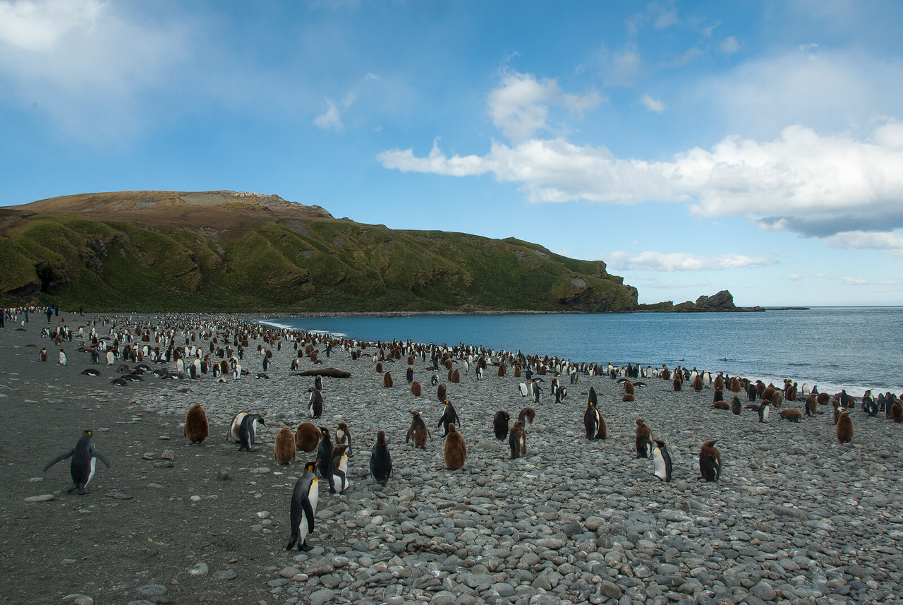 Penguins in Moltke Harbor, South Georgia Island
