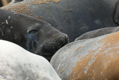 Elephant seals resting - Moltke Harbor, South Georgia Island