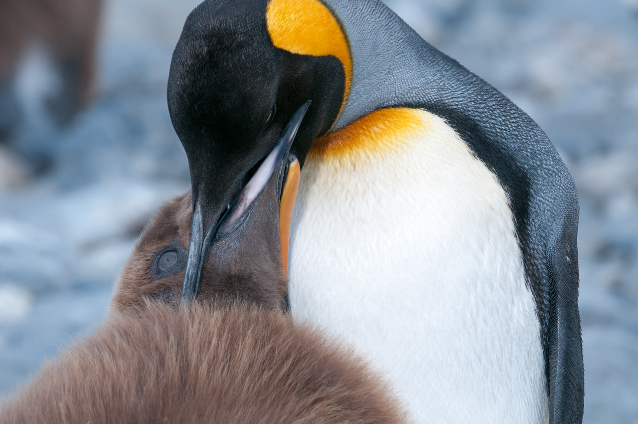 Penguin and chick in Moltke Harbor