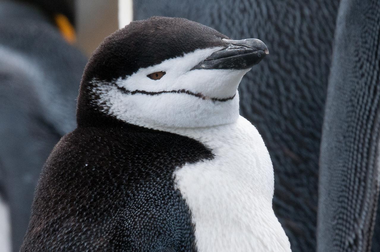 Penguin in Moltke Harbor