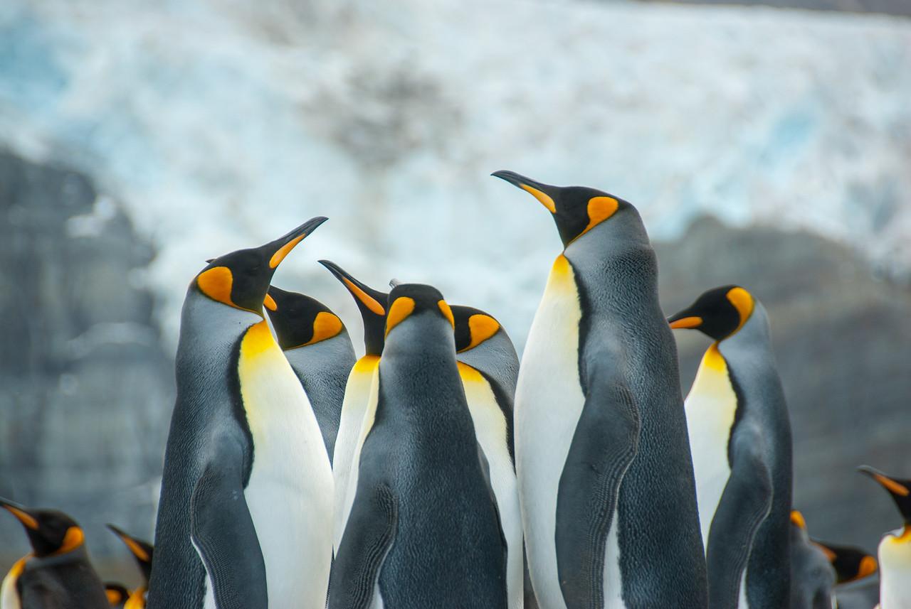 King penguins in Moltke Harbor, South Georgia Island