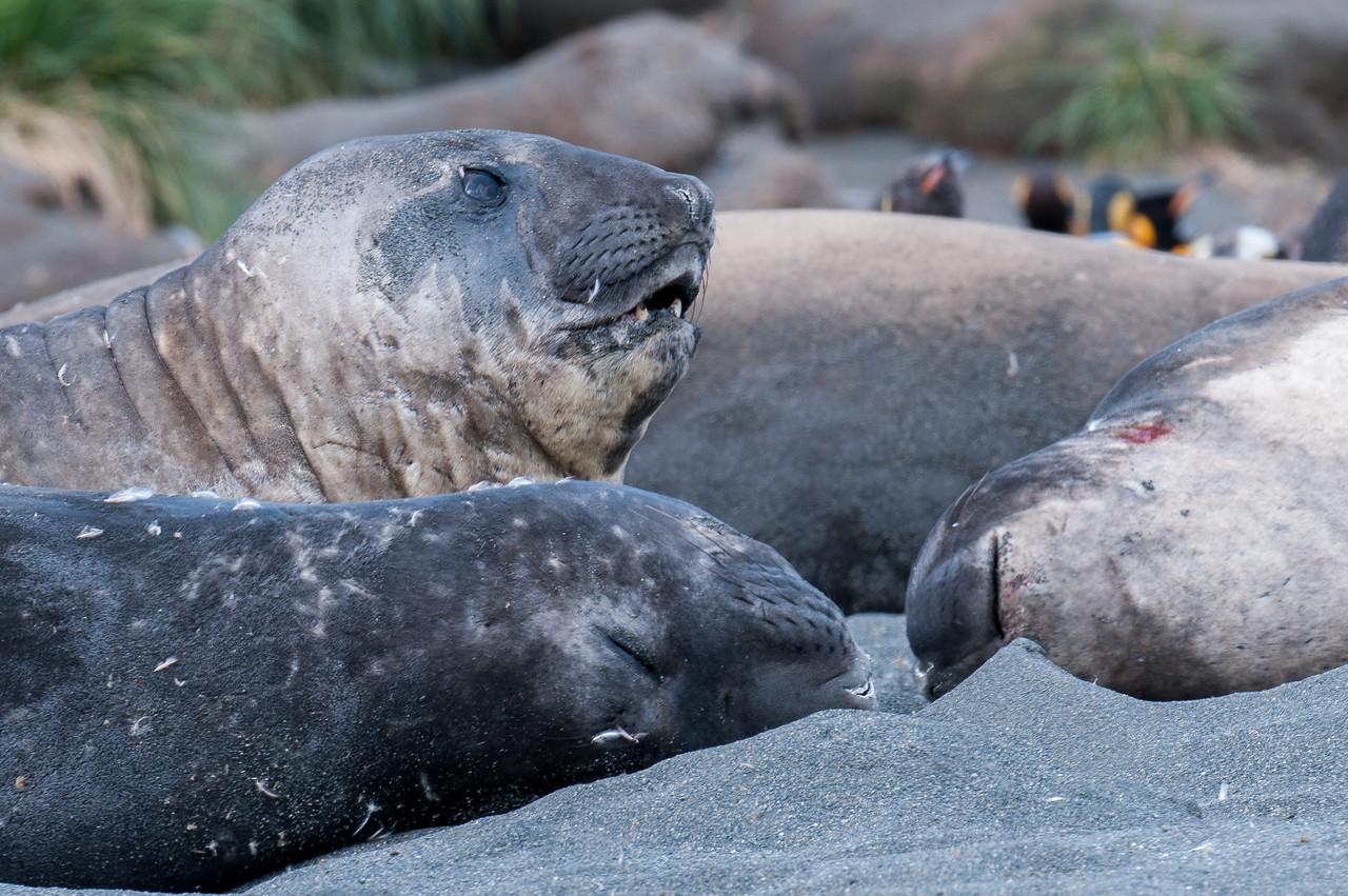 Elephant seals in Moltke Harbor