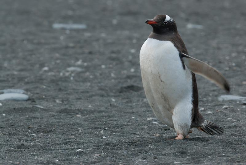 King penguin in Moltke Harbor, South Georgia Island