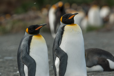 King penguins in Moltke Harbor, South Georgia Island