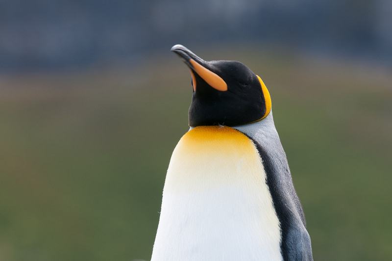 King penguin in Moltke Harbor