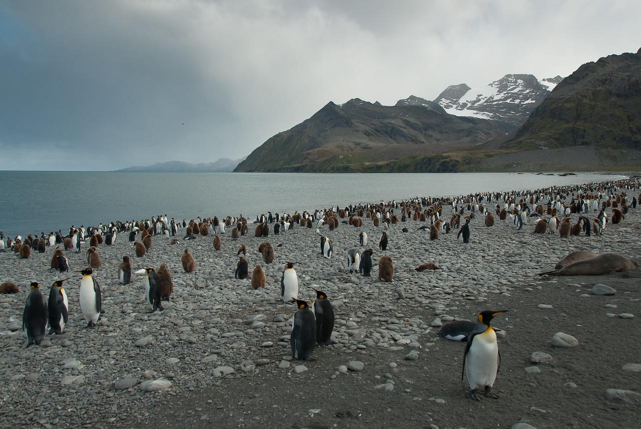Penguins in Moltke Harbor, South Georgia Island