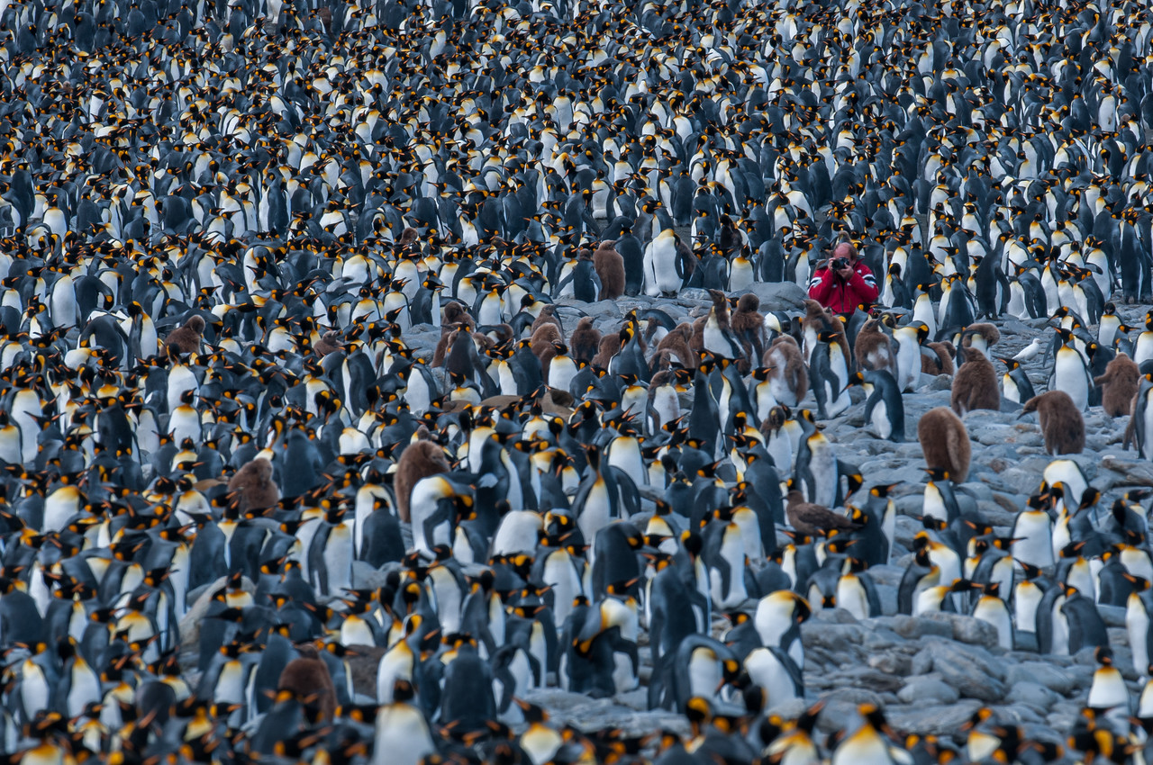 King penguins in Moltke Harbor