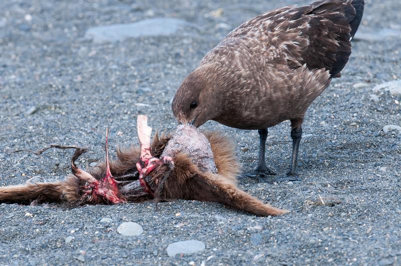 Feeding on dead bird at Moltke Harbor