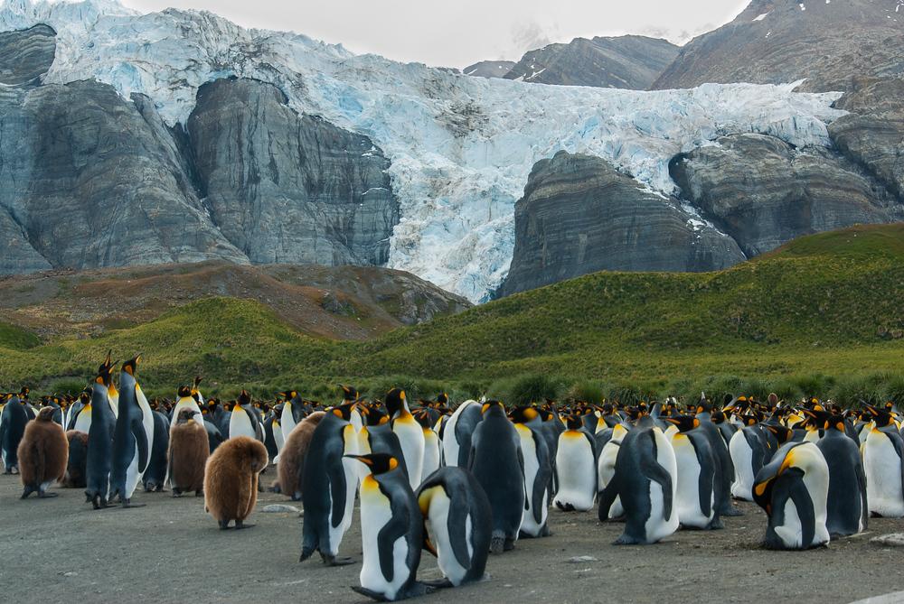 King Penguins beneath a glacier in Moltke Harbor, South Georgia Island