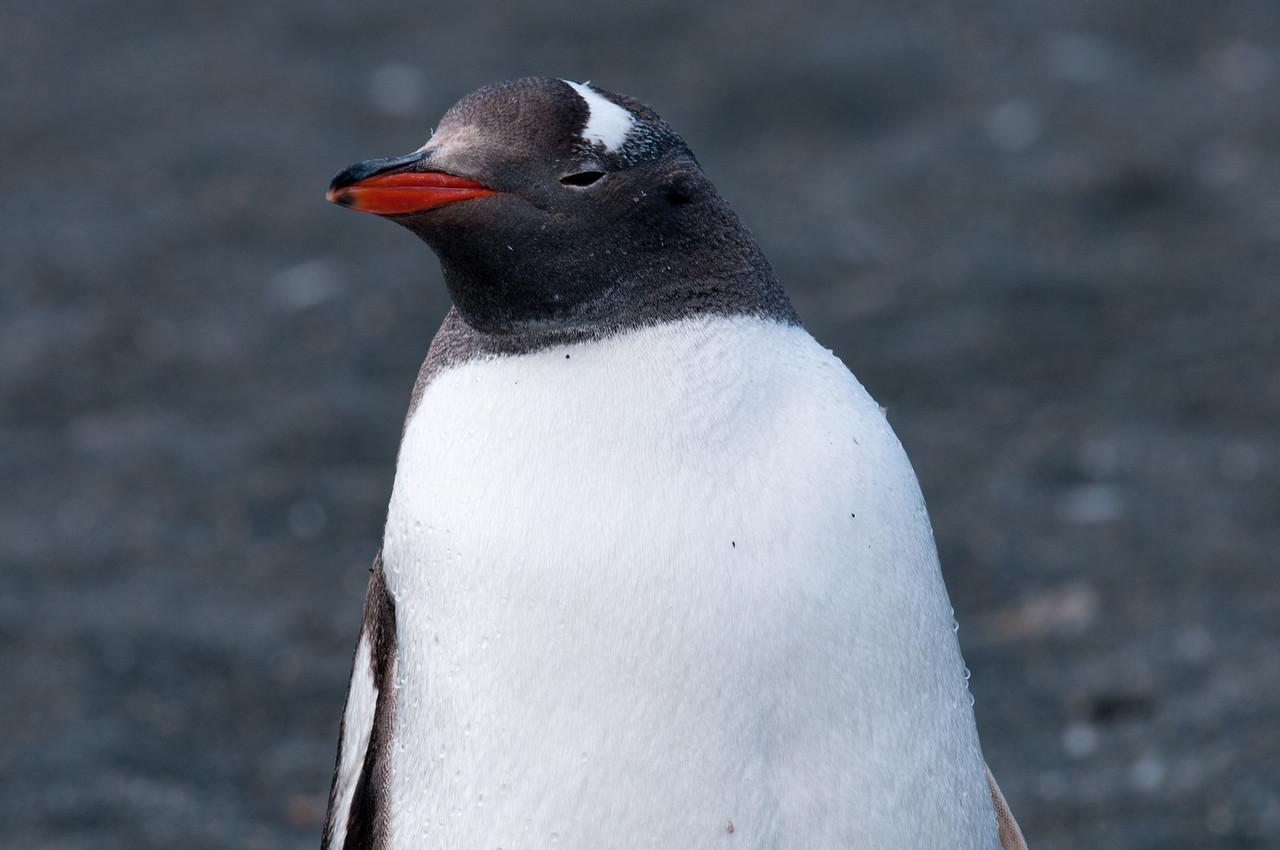 King penguin in Moltke Harbor