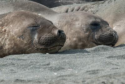 Elephant seals resting in Moltke Harbor, South Georgia Island