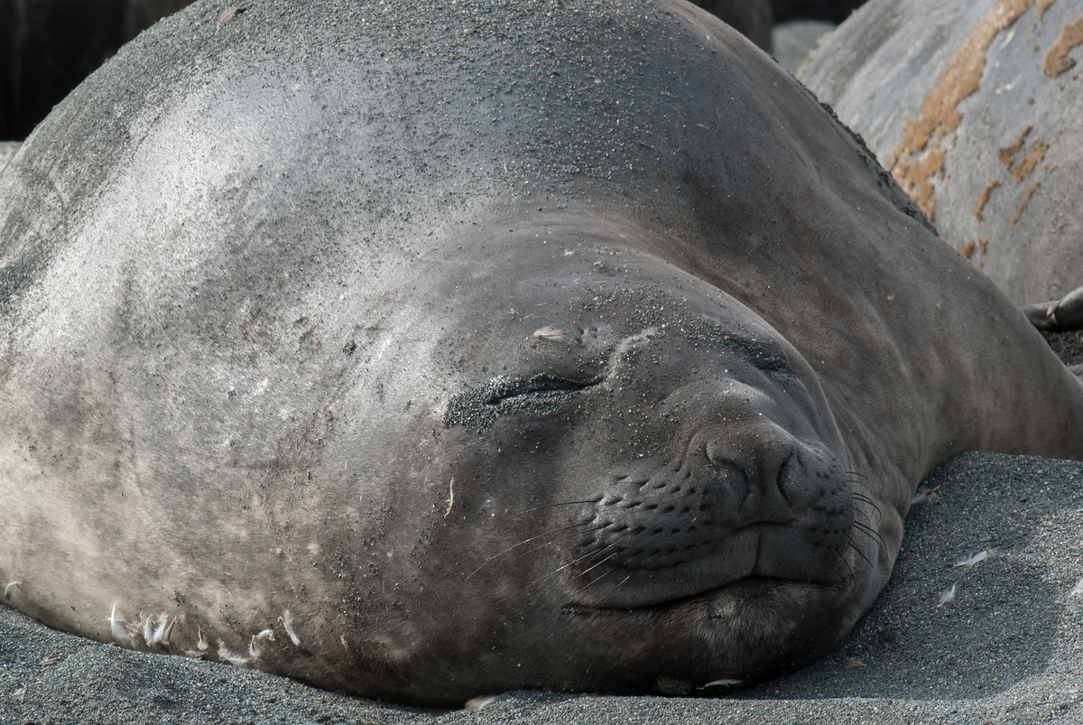 Elephant Seal Sleeping in Moltke Harbor, South Georgia Island